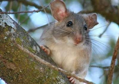 Dusky-footed Woodrat